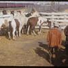 Angus Willet's horse sale.  Shaunavon.  09/25/1953