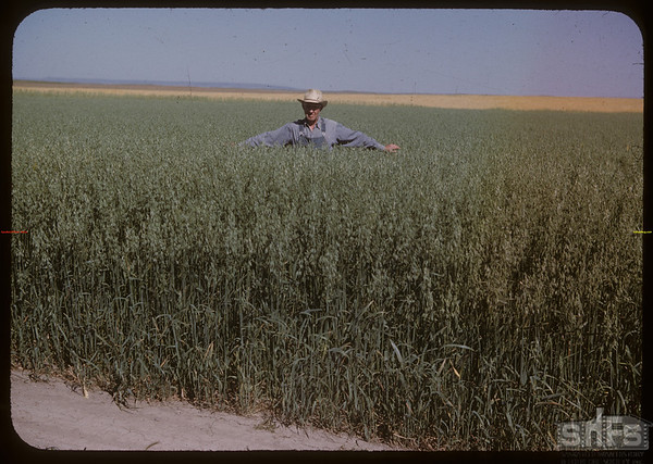 William Sanderson in oats field.  Senate.  08/22/1950