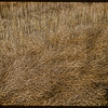 Close-up Swathed Rape near Shell L..  Shell Lake.  09/15/1956