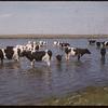 Edwin Cowie's dairy herd.  Shaunavon.  06/08/1956