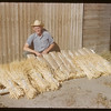 Lee Sanderson with his variety test sheaves.  Senate.  09/06/1953