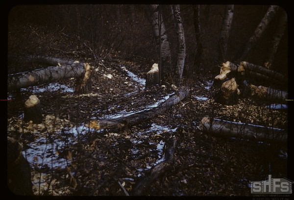 Beaver cuttings - Pine Cree Park.  South Fork.  11/08/1958