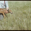 Fawn (deer).  South Fork.  07/03/1954