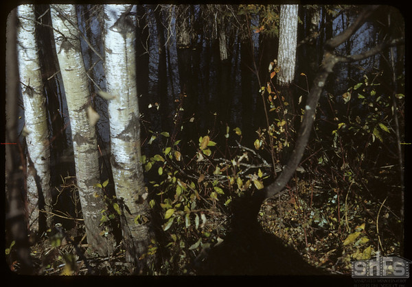 Trees above beaver dam north end Shaunavon Lease.  South Fork.  10/09/1954