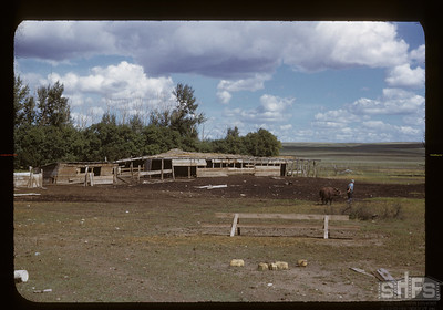 Charles Cooper's finest sheep barns in Admiral District, 08/26/1950