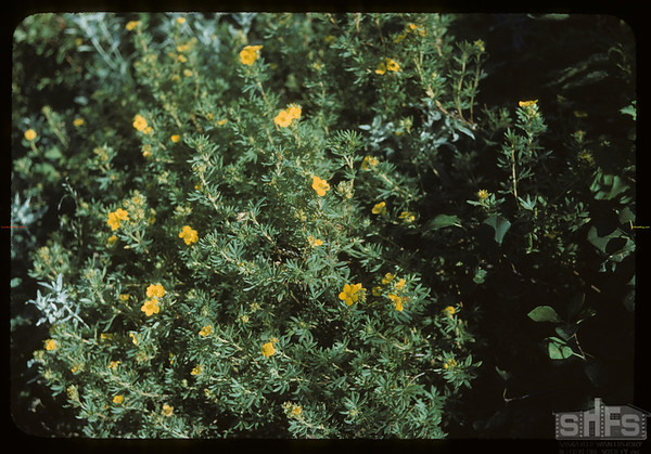 Shrubby Cinquefoil.  Wood Mountain I. R..  08/07/1954