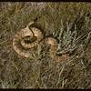 Rattlesnake killed at McNabb ranch. Val Marie. 06/29/1957