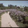 Mrs. Harold Simpson in lilac lane..  Shaunavon.  06/18/1955