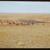 Cattle at dam.  Val Marie.  10/13/1950