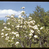 Pin Cherry blossoms.  South Fork.  05/18/1952