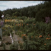 Mrs. Nylund's garden..  Shaunavon.  07/01/1957