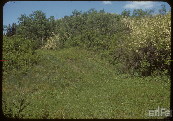 Hawthorne Blossoms near S.F. of Swift Current.  South Fork.  06/14/1953