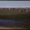 Cowie's dairy herd.  Shaunavon.  07/02/1954