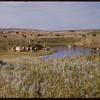 Armstong's cattle.  Ravenscrag.  08/16/1956