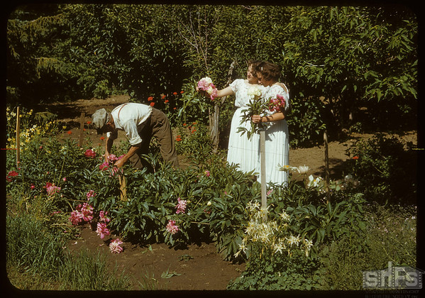 Dick Robbins presents Jamieson twins with Peonies..  Shaunavon.  07/16/1950