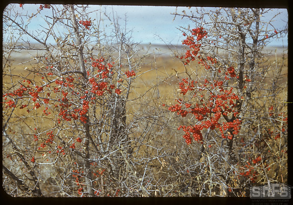 Buffalo berries near gate J. E. McNabb ranch.  Val Marie.  10/31/1951