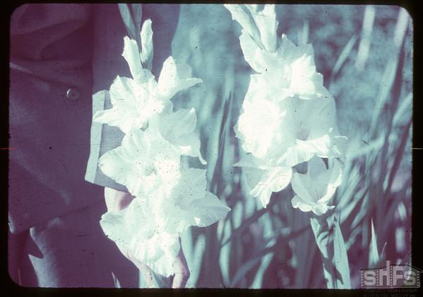 """""""Moonlight"""" gladiolas - Earl Huston - 2565 Garnet Street.  Regina.  08/08/1951"""