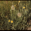 Goats Beard blossom & ball.  South Fork.  07/25/1954