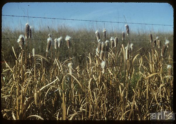 Bursting cattails.  Val Marie.  10/05/1954