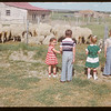 Field day sheep at Wilbert Lewis's..  Eastend.  06/18/1952