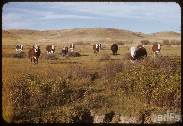 Curious Cattle. Maurice Dordeaus Pasture.  South Fork.  09/28/1952