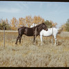 Horses cooperating in fighting Nose Flies.  St. Laurent.  09/24/1950