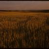 This is Saskatchewan wheat..  Ravenscrag.  08/14/1956
