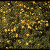 Shruby Cinquefoil - Experimental Farm.  Swift Current.  07/13/1955