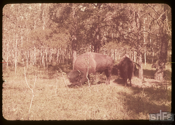 Buffalo in pound.  Waskesiu.  08/15/1953