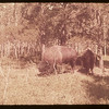 Buffalo in pound.  Waskesiu.  08/15/1953
