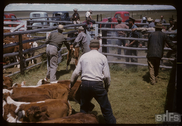 Lone Tree Calves to Branding Corral. Canuck. 06/25/1957