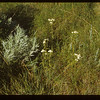 Yarrow on south side White Mud valley..  Knollys.  07/15/1954