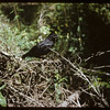 Crow in South Fork Valley.  South Fork.  07/11/1954