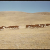 Bill Smith's Range Scared Cattle.  South Fork.  09/25/1956