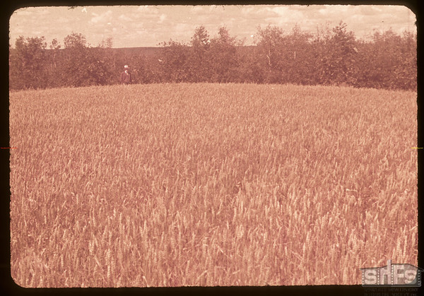 William Playton land that grew the World's 1st Place Wheat in 1886 - Chaska Sherwood.Prince Albert. 08/14/1953