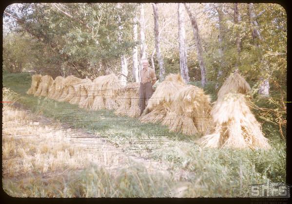 "R. P. Robbins ""World Wheat King"" and 1952 variety breeding.  Shaunavon.  09/08/1952"