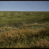 Waving grain field.  Shaunavon.  08/14/1957
