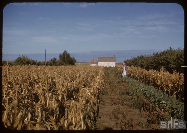 Steve grubbe's corn.  Shaunavon.  08/26/1950
