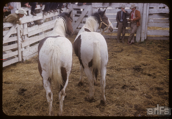 Angus Willet's matched team of horses at sale.  Shaunavon.  09/25/1953