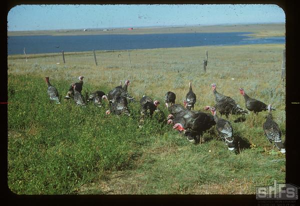 Jack Liscombe's turkeys.  Loomis.  09/24/1954