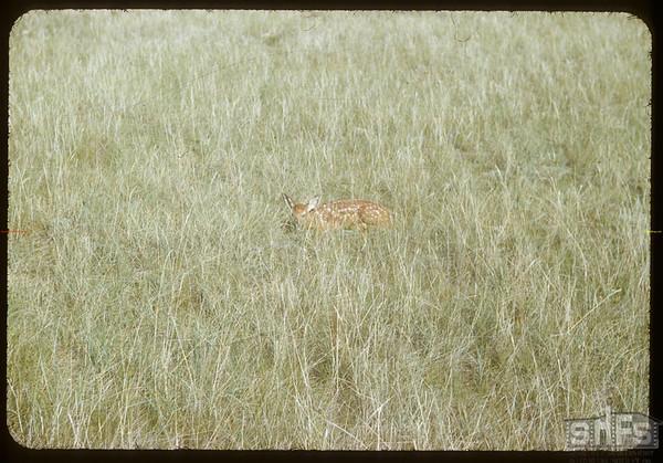 Fawn hiding.  South Fork.  07/03/1954