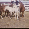 Angus Willet's saddle stock sale.  Shaunavon.  09/25/1953