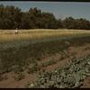 Dick Robbins garden and registered grain..  Shaunavon.  09/03/1950