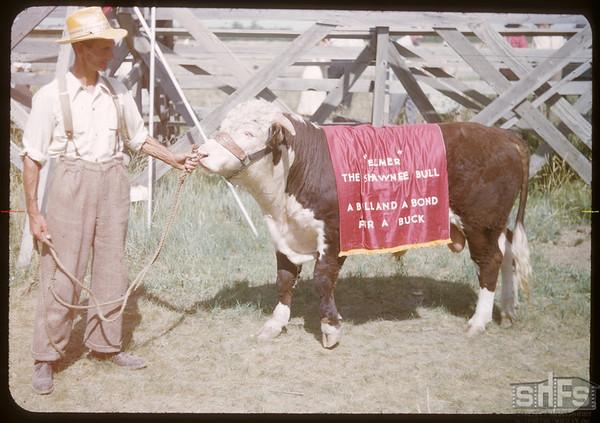 Percy Clark holding Elmer the bull at Shaunavon fair..  Shaunavon.  07/25/1950