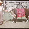 Percy Clark holding Elmer the bull at Shaunavon fair..  Shaunavon.  07/25/1950