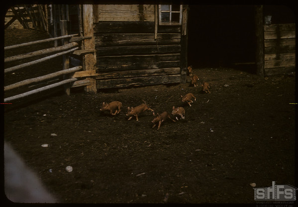 Red Pigs at Maurice Dordeaus.  South Fork.  09/13/1957
