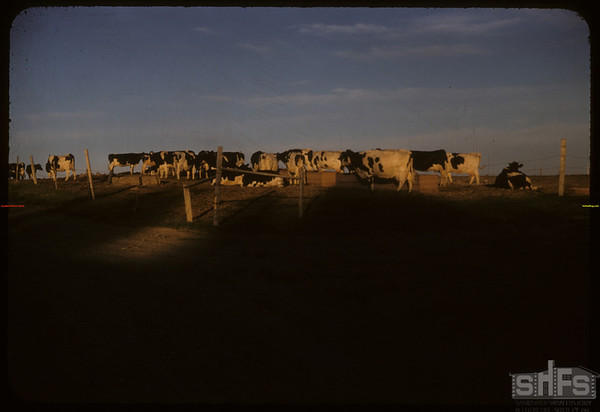 Lloyd Hunter and Holsteins.  Shaunavon.  07/01/1957
