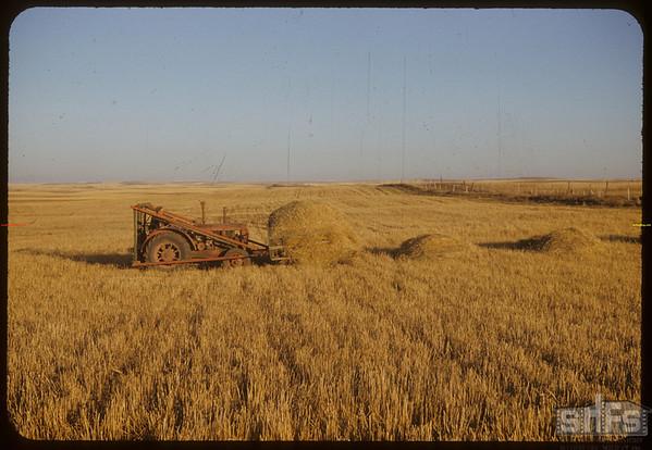 Ed Kronberg moving straw pile.  Shaunavon.  10/15/1952