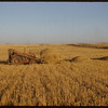Ed Kronberg moving straw pile.  Shaunavon.  10/15/1952