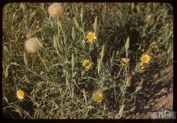 Goats Beard blossom & ball.  South Fork.  07/23/1954